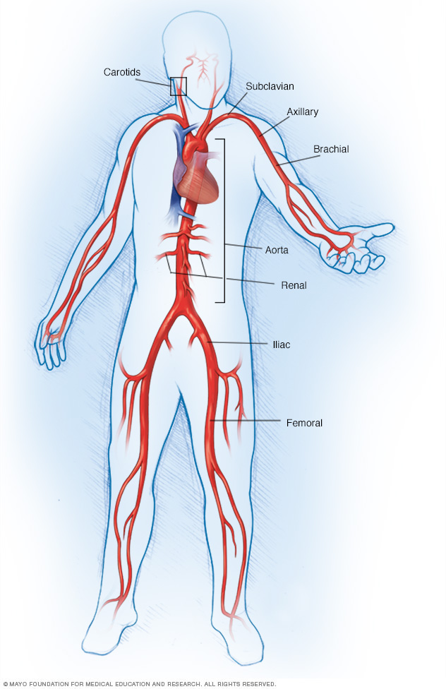 Large arteries