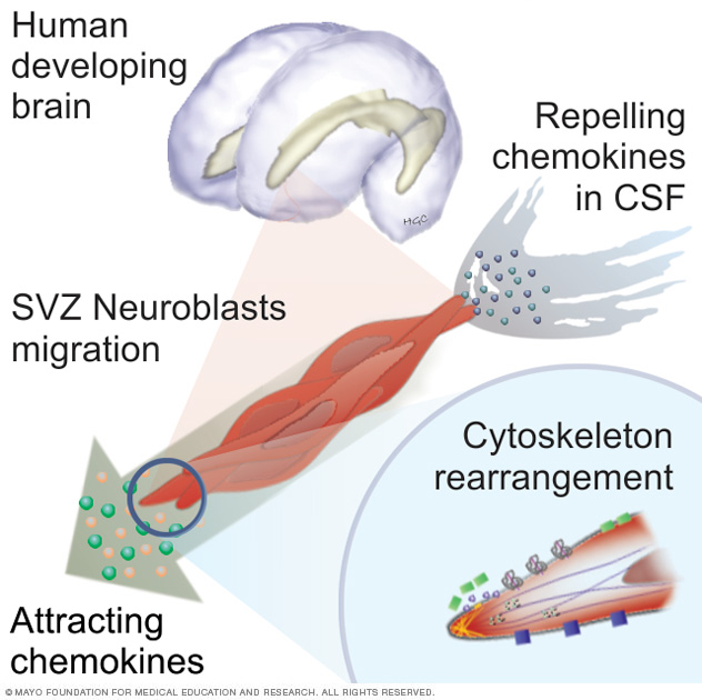 Migration of subventricular zone (SVZ) neuroblasts is partially regulated by the flow of cerebrospinal fluid (CSF).