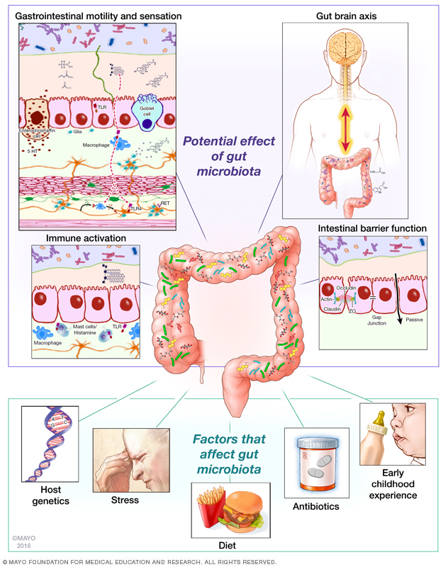 Diagram from the Mayo Clinic Gut Microbiome Lab showing how intestinal bacteria interact with their hosts' bodies
