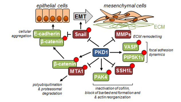 Image of some of the key events regulated by PKD1