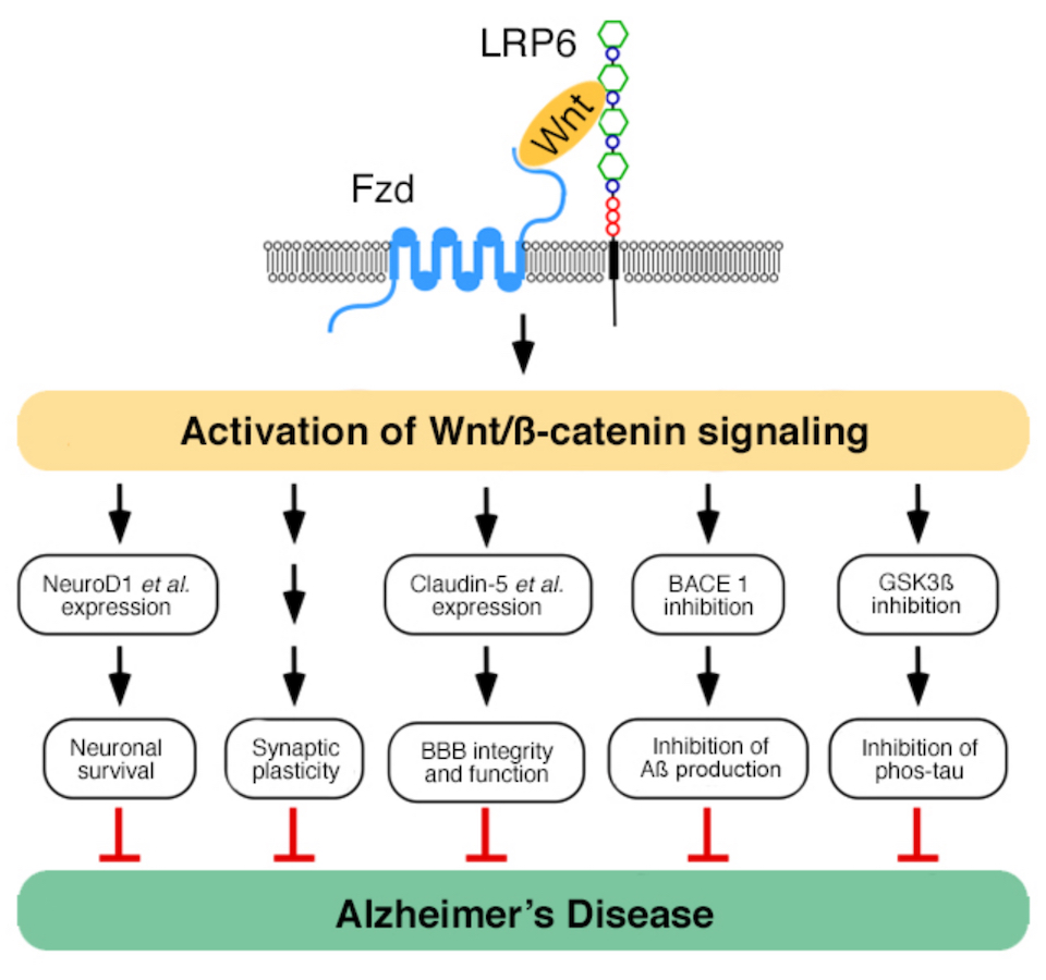 Functional effects of LRP6 signaling