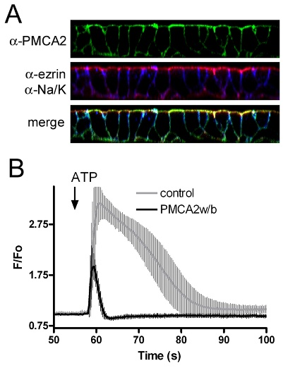 Stable expression and function of PMCA2w/b in MDCK cells.