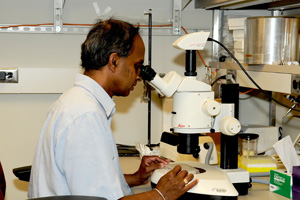 Wasantha K. Runatunga, Ph.D., looking at crystals using a stereomicroscope.