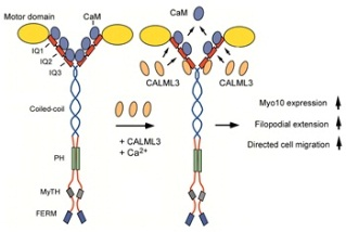 CALML3 as light chain for myosin-10