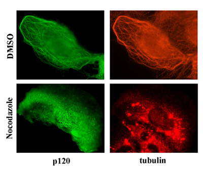 Fig. 2: Ectopically-expressed p120 (green) colocalizes with endogenous tubulin (red). The microtubule-disrupting agent nocodazole blocks co-localization.