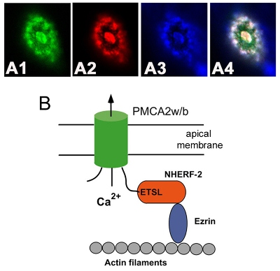 The Na+/H+-exchanger regulatory factor-2 (NHERF2) anchors the plasma membrane calcium pump isoform PMCA2w/b to the apical membrane in polarized MDCK cells.