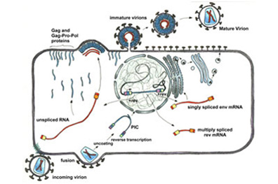 HIV-1 life cycle