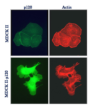 p120 overexpression (green) induces lamellipodia formation in MDCK cells and promotes a mesenchymal-like morphology.